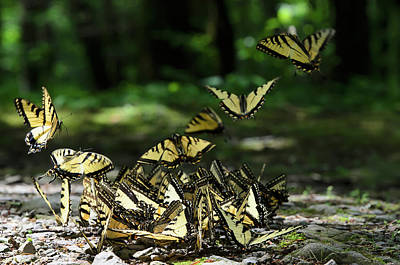 Insect Photograph - Abundance Of Eastern Tiger Swallowtail by Tom Patrick / Design Pics