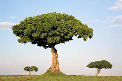 Photograph - Acacia Acacia Sp Trees, Masai Mara by Ingo Arndt/ Minden Pictures