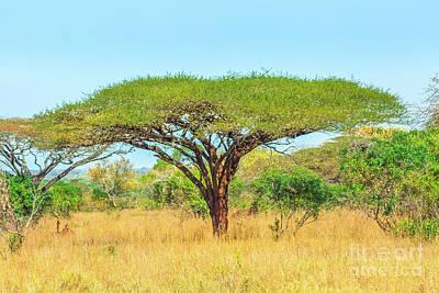 Photograph - Acacia Tree In Savannah by Benny Marty