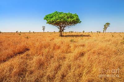 Photograph - Acacia Tree In Serengeti by Benny Marty