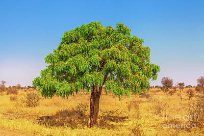 Photograph - Acacia Tree Of Serengeti by Benny Marty