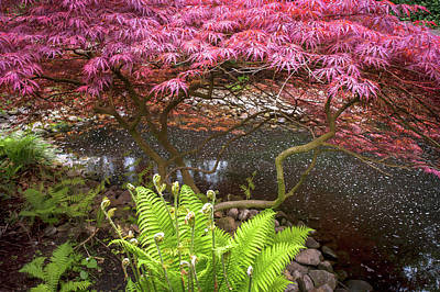 Photograph - Acer Palmatum Crimson Queen And Fern by Jenny Rainbow