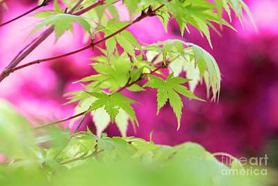 Photograph - Acer Sango Kaku Foliage by Tim Gainey