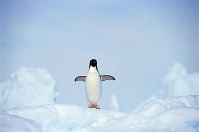 Birds In Snow Wall Art - Photograph - Adelie Penguin Pygoscelis Adeliae by Frans Lemmens