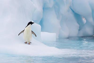Photograph - Adelie Penguin Pygoscelis Adeliae On by Suzi Eszterhas/ Minden Pictures