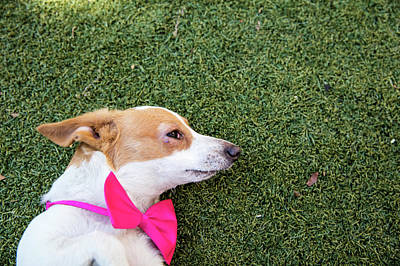 Photograph - Adorable Jack Russell-dachshund Mix by Amandafoundation.org