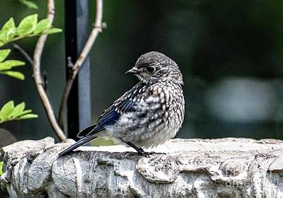 Tina Turner - Adorable Juvenile Eastern Bluebird by Cindy Treger
