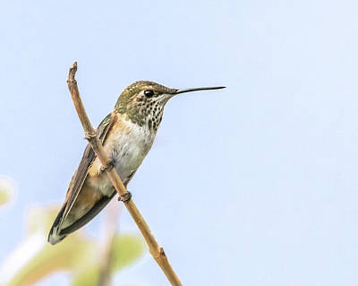 Photograph - Adult Hummingbird by Jennifer Grossnickle