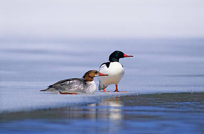 Common Merganser Wall Art - Photograph - Adult Male And Female Common Mergansers by Wayne Lynch
