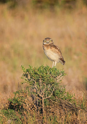 Photograph - Adventurous Burrowing Owl by Loree Johnson