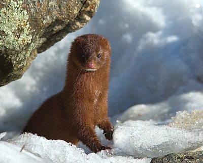 Photograph - Adventurous Little Mink by Harry Moulton