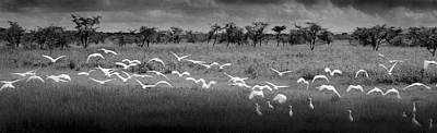 Photograph - Africa, Tanzania, Maweni, Flock Of by Doug Menuez / Forrester Images