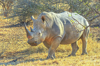Photograph - African Black Rhino by Benny Marty