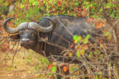 Photograph - African Buffalo South Africa by Benny Marty