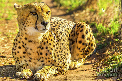 Photograph - African Cheetah Sitting by Benny Marty