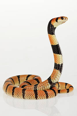 Photograph - African Coral Snake Against White by Martin Harvey