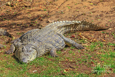 Photograph - African Crocodile Resting by Benny Marty