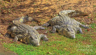 Photograph - African Crocodiles Resting by Benny Marty