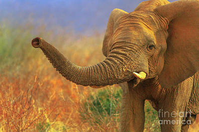 Photograph - African Elephant In Savannah by Benny Marty