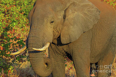 Photograph - African Elephant Kruger by Benny Marty