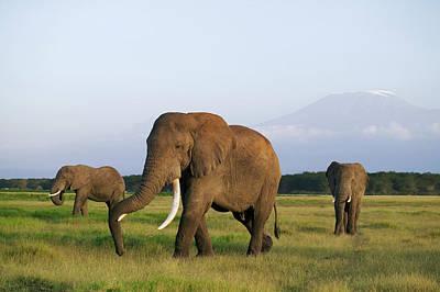 Photograph - African Elephants Loxodonta Africana by Martin Harvey