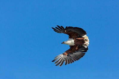 Eagle Photograph - African Fish Eagle by 1001slide