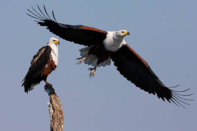 Eagle Photograph - African Fish Eagles, Chobe National by Mint Images/ Art Wolfe