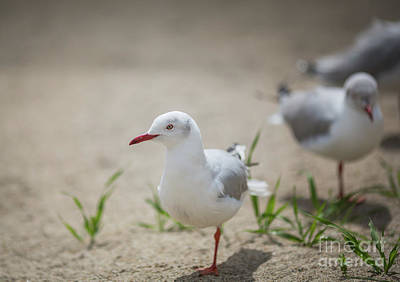 Photograph - African Grey-headed Gulls by Eva Lechner