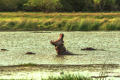 Photograph - African Hippopotamus Angry by Benny Marty