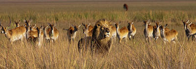 Photograph - African Lion And Lechwe, Duba Plains by Mint Images - Art Wolfe