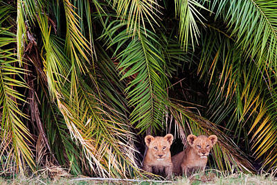 Photograph - African Lion Cubs, Botswana by Mint Images/ Art Wolfe