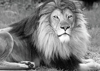 Photograph - African Lion Mono 021919 by Rospotte Photography