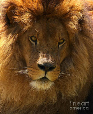 Photograph - African Lion by Phil Banks