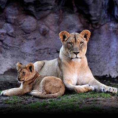 Animal Animal Photograph - African Lion With Cub by Yuko Smith Photography