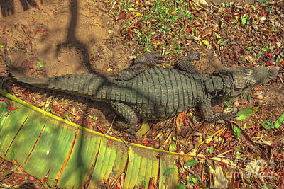 Photograph - African Nile Crocodile by Benny Marty