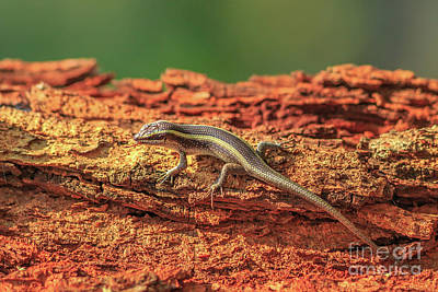 Photograph - African Striped Skink by Benny Marty