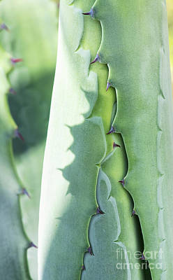 Photograph - Agave Foliage Opening by Tim Gainey