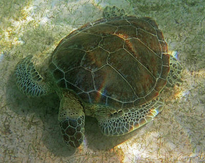 Photograph - Akumal Bay Sea Turtle Akumal Mexico by Toby McGuire