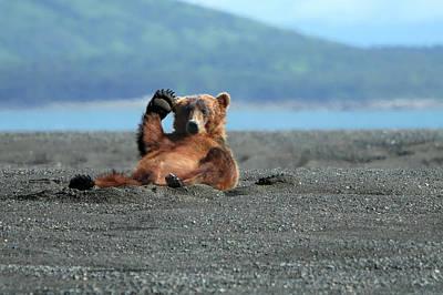 Lying Down Photograph - Alaskan Coastal Brown Bear Waving by Alan Vernon