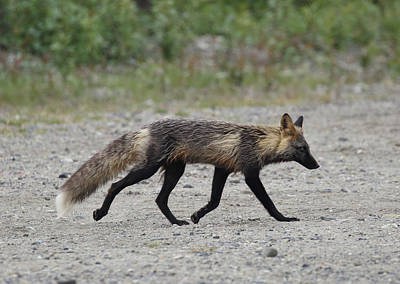Photograph - Alaskan Cross Fox by Jean Clark
