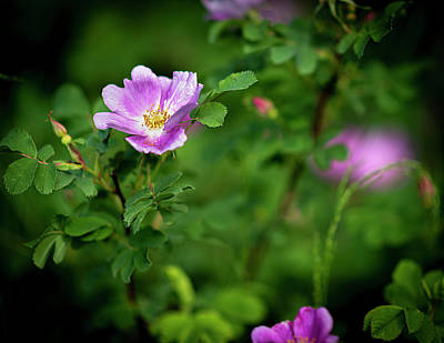 Photograph - Alberta Wild Rose by Philip Rispin