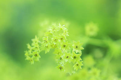 Royalty-Free and Rights-Managed Images - Alchemilla Mollis or Ladys Mantle by Iris Richardson