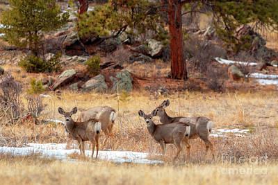 Photograph - Alert Herd Of Colorado Deer by Steve Krull