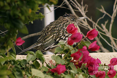 Photograph - All Puffed Up Road Runner by Colleen Cornelius