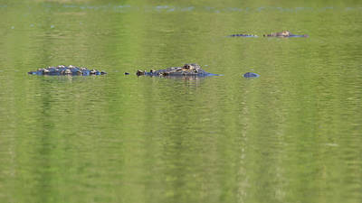 Photograph - Alligator Blockade by Paul Rebmann