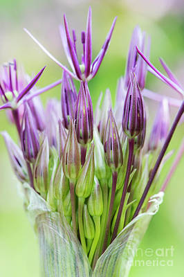 Photograph - Allium Christophii Flower Buds Emerging by Tim Gainey