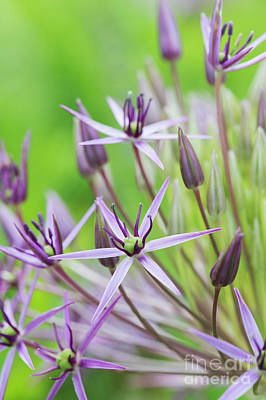 Photograph - Allium Christophii Flower Macro by Tim Gainey