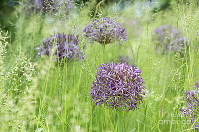 Photograph - Allium Christophii Flowering In Long Grass by Tim Gainey