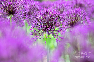 Photograph - Allium Purple Rain Flowers Abstract by Tim Gainey