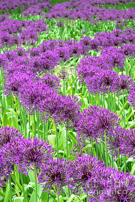 Photograph - Allium Purple Rain Flowers In May by Tim Gainey